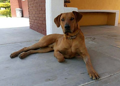 """His name is """"Bo"""" and he lives with my parents. (yaotl_altan) Tags: dog perro cane chien hund gos cão собака hidalgo mèxic méxico mexiko ме́ксика messico mexico mexique"""