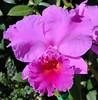 Big Purple Cattleya Orchid (Nelson~Blue) Tags: big purple cattleya orchid