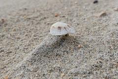Shell (Nelleke C) Tags: 2017 dogsbay letterdyfehouse roundstone beach connemara countygalway holiday ierland ireland mollusc mollusken patella sand schaalhoren strand vakantie zand