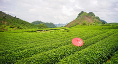 Tea platation in Northern Vietnam (phuong.sg@gmail.com) Tags: agricultural agriculture asia background beautiful beauty cameron cloud countryside crop cultivation environment estate farm farming farmland field flora fresh freshness green grow highland hill land landscape leaf meadow mountain nature outdoor plant plantation rows rural scene scenery season sky slope summer tea tranquil travel tree tropical