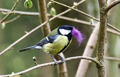Great Tit - Taken at Sywell Country Park, Sywell, Northamptonshire. UK (Ian J Hicks) Tags: