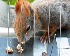 """am offenen Fenster ... (flixx-ak) Tags: flixxakoffenbachammainhessen deutschland germany """"anvormeinemfenster"""" eichhörnchen squirrel 2018 ehmithinterlaufproblem2017 r0024708"""