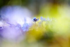 Coloring Life (matt.kueh) Tags: flower plant hepatica hepaticanobilis liverwort kidneywort liverleaf leberblümchen spring frühling bokeh vintagelens manualfocus m42 depthoffield helios40285mmf15 sonya7ii sonyilce7m2