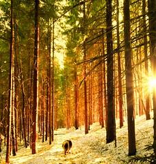 Out hiking, sun in my face, so lovely ♥️ Spring is on 🍀 (evakongshavn) Tags: springishere springisitreallycoming springiscoming spring winter winterwonderland winterwald winterlandscape forest wald foret landscape landschaft paysage