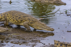 COCCODRILLI    ----    CROCODILES (Ezio Donati is ) Tags: natura nature animali animals acqua water lagune swamps pericolo danger rettili reptiles africa costadavorio yamoussoukro areadeslacs