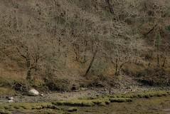 03041806 Lehid-Beara Pen (Philip D Ryan) Tags: ireland countykerry bearapeninsula lehidharbour woodlands deciduous winter branches shore shoreline tide tidal shingle coast seaweed