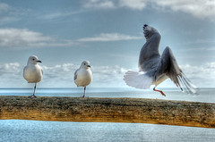 Joining His Friends (AdamsWife) Tags: australia westernaustralia gull gulls silvergull bird birds birdwatcher birdlife