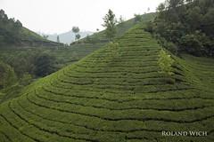 Munnar - Tea Plantations (Rolandito.) Tags: south india indien southern kerala munnar tea plantation plantations