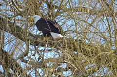 Intense (Neal D) Tags: haliaeetusleucocephalus bc chilliwack bird eagle baldeagle