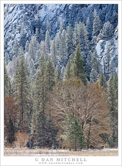 Forest, Meadow, New Snow (G Dan Mitchell) Tags: yosemite national park valley forest deciduous coniferous snow coated meadow cliff granite sentinel rocks trees sierra nevada landscape nature
