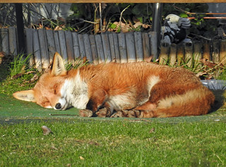 A fox relaxing in the late afternoon winter sun