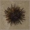 Gold-Fingers 2 (Mim Basil) Tags: sea urchin