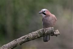 Jay (Knutsfordian) Tags: garrulusglandarius jay corvidae corvid bird