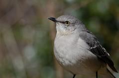 Northern Mockingbird (JDA-Wildlife) Tags: birds nikon nikond7100 tamronsp150600mmf563divc jdawildlife johnny portrait closeup eyecontact mockingbird northernmockingbird