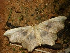 Idaea emarginata - Small scallop - Малая пяденица выемчатая (Cossus) Tags: geometridae idaea sterrhinae пестово пяденица 2009