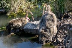 Baboons at waterhole (mayekarulhas) Tags: baboon wildlife wild water krugernationalpark krugerpark canon southafrica safari animal africa