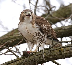 Coming Up for Air (Slow Turning) Tags: buteojamaicensis redtailedhawk raptor bird feeding food eating prey mouse rodent eyecontact beakopen winter southernontario canada immature juvenile young