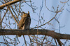 great horned owl march 22 2018.Did you know great horned owls eat skunks. (Mel Diotte) Tags: great horned owl raptor wild nature explore mel diotte wildlife natural hunter eyes