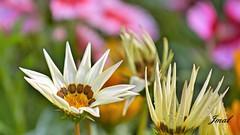 Flor do Meio-Dia (Jmal,) Tags: flor flower flores pontogarden flordomeiodia