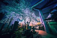 夜桜 - Night Sakura (hidesax) Tags: 夜桜 nightsakura shinjuku tokyo japan hidesax sony a7ii voigtlander 10mm