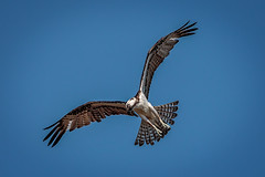 Osprey in flight (lpd5358) Tags: sanibelisland canon7dmarkii florida osprey raptor birdofprey baileytract dingdarlingnwr
