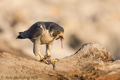 Peregrine Falcon (Matt Shellenberg) Tags: peregrine falcon peregrinefalcon illinois mississippi river raptor matt shellenberg