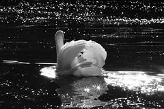 Swan (JohannesMayr) Tags: swan schwan gegenlicht sterne wasser schwarz weis bw black white see alpsee immenstadt bayern deutschland germany bavaria