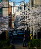 Sillim Cherry Blossoms (Daniel Smukalla) Tags: 135mmsamyang dslt asia korea silim sony sonya99 southkorea 대한민국 소니 한국 seoul kr sillim cherryblossom