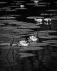 Water Lillies (Mike Schaffner) Tags: bw blackwhite blackandwhite flower monochrome park pond sheldonlake sheldonlakestatepark statepark waterlilies houston texas unitedstates us