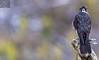 Kārearea 152 (Black Stallion Photography) Tags: juvenile newzealand falcon kārearea bird wildlife nzbirds prey perch branch brown tail feathers black stallion photography igallopfree