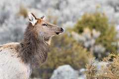 Elk Portrait (adbecks) Tags: elk nikon portrait wildlife yellowstone d500 200500 snow bokeh