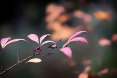 *** (pszcz9) Tags: zbliżenie closeup bokeh jesień autumn fall przyroda nature natura beautifulearth sony a77