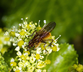Yellow Dung Fly - Scathophaga stercoraria