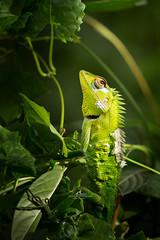Pousser vers la lumière ! (Laurent BASTIDE Photographies) Tags: forest calotes lizard light life wildlife