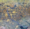 Lumbriculus variegatus (XhIvAdEmOn) Tags: lumbriculus variegatus sworm lombriz gusano acuario