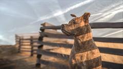Ollie - reedit (CaPpedDoG) Tags: dog canine friend companion pit pittie pitty pitbull cross rescue brindle fences shadows sky summer