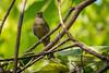 Ampang_180318_15 (kamaruld) Tags: tamantar ampang selangor bird birding tree leaf branch asianredeyedbulbul bulbul