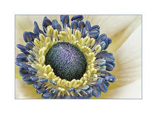 Anemone ...