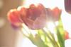 Petals in the Sun (flashfix) Tags: march172018 2018inphotos ottawa ontario canada nikond7100 40mm nikon flashfix flashfixphotography tulip macrp vase water bubbles highkey sunshine