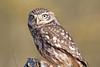 Little Owl (drbut) Tags: littleowl athenenoctua bird prey woods trees birdofprey birds nocturnal nature wildlife canonef500f4lisusm