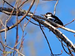 Pico picapinos (Dendrocopos major)  (4) (eb3alfmiguel) Tags: aves pájaros carpintero piciformes picidae pico picapinos dendrocopos major pájaro árbol hierba animal bosque madera
