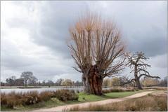 Skeleton Trees (Mabacam) Tags: 2018londonkingston hampton parkbushyparktrees cloudslandscape shapesbranches