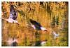 Water birds in Botanic Garden Meise (jackfre 2) Tags: belgium nationalbotanicgarden meise plantentuin waterbirds canadageese cormorants pond lake reflections