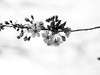 Cherry Tree Blossom (Will.Mak) Tags: cherrytree blossom blackandwhite bw contrast olympus em1markii m45mm f18 olympusem1markii olympusm45mmf18 m45mmf18 45mmf18 flowers flower branch tree noir monochrome