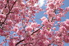 Sakura 桜 (runslikethewind83) Tags: sakura spring primavera flordecerezo flor flowers pink season japan tokyo nature 桜 春 日本 東京 自然 花