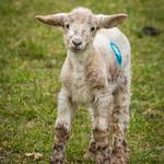 Spring Lamb [Explored] thumbnail