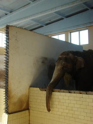 Слон в Калининградском зоопарке ©  ayampolsky