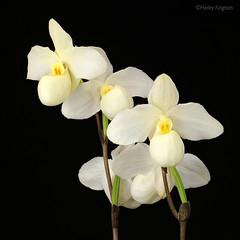 Paph Gold Dollar x delenatii (Harlz_) Tags: paphgolddollarxdelenatii paphiopedilum orchid hybrid delenatii white flower slipper canon 5dmarkiv