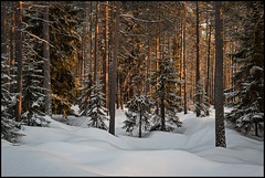Kvällssol (Jonas Thomén) Tags: sandåsen snö snow winter vinter skog forest woods träd trees sunshine solsken kväll evening