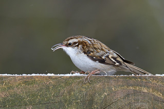Treecreeper - it's on the tip of my tongue!